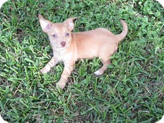 Chihuahua/Terrier (Unknown Type, Small) Mix Puppy for adoption in Stephenville, Texas - Jack