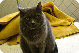 Domestic Shorthair Cat for adoption in East Smithfield, Pennsylvania - Zora