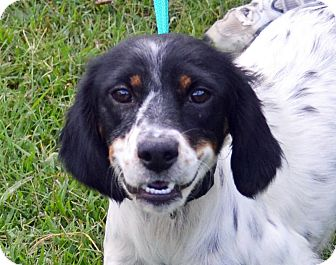 English Setter Mix Dog for adoption in Searcy, Arkansas - Miracle