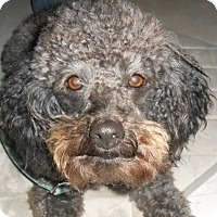 Adopt A Pet :: Pepper - Lockhart, TX