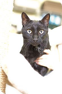 Domestic Shorthair Cat for adoption in Nashua, New Hampshire - Jerry