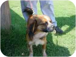 Dachshund/Terrier (Unknown Type, Small) Mix Dog for adoption in Altus, Oklahoma - Lily