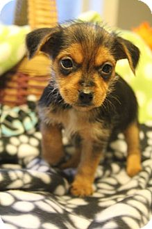 Yorkie, Yorkshire Terrier/Dachshund Mix Puppy for adoption in Bedminster, New Jersey - Frenz