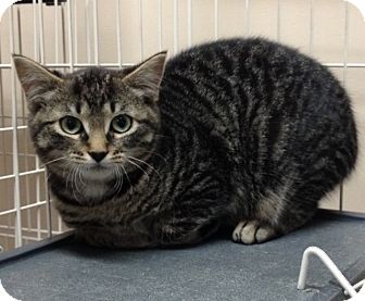 Domestic Shorthair Kitten for adoption in Cashiers, North Carolina - Patrick