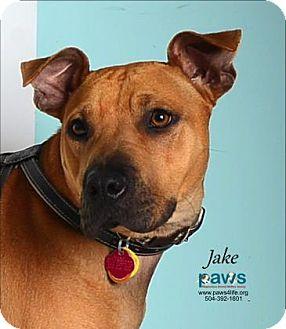 Black Mouth Cur Mix Dog for adoption in Belle Chasse, Louisiana - Jake