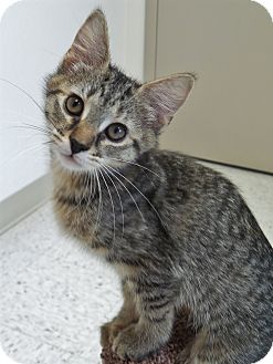 Domestic Shorthair Kitten for adoption in Chambersburg, Pennsylvania - Dibby