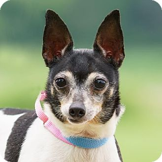 Rat Terrier Mix Dog for adoption in Columbia, Illinois - Roxie