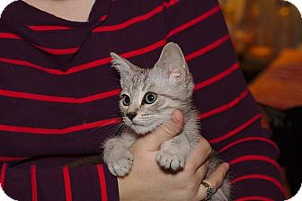 Domestic Shorthair Kitten for adoption in Homewood, Alabama - Lucky