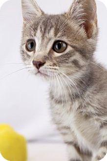 Domestic Shorthair Kitten for adoption in Bradenton, Florida - Holly