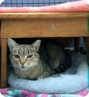 Abyssinian Cat for adoption in Ogden, Utah - Sage