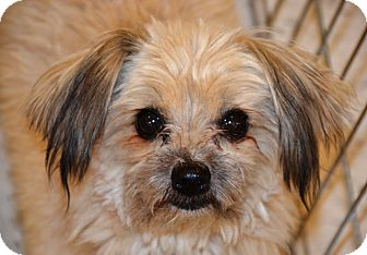 Yorkie, Yorkshire Terrier/Pomeranian Mix Dog for adoption in Simi Valley, California - Harp