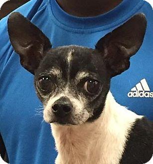 Chihuahua Dog for adoption in Orlando, Florida - Martin