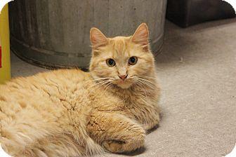Domestic Mediumhair Kitten for adoption in New Richmond,, Wisconsin - Chrissy