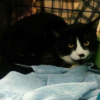 Domestic Mediumhair/Domestic Shorthair Mix Cat for adoption in Santa Paula, California - Mark