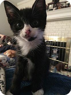 Domestic Shorthair Kitten for adoption in Edinburg, Pennsylvania - Artie
