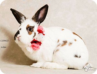 Netherland Dwarf Mix for adoption in Palm Desert, California - MoMo