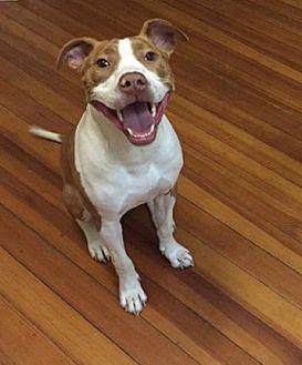 Pit Bull Terrier/Labrador Retriever Mix Dog for adoption in New York, New York - Jordan