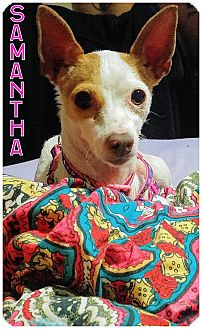 Italian Greyhound/Rat Terrier Mix Dog for adoption in Fowler, California - Samantha