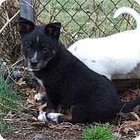 Adopt A Pet :: Puppies!!!!! - Elmwood Park, NJ