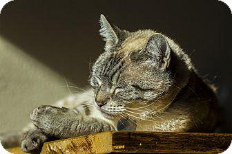 Domestic Shorthair Cat for adoption in Seattle, Washington - Yuki