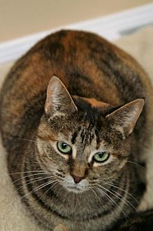 Domestic Shorthair Cat for adoption in Adams, Wisconsin - Penny