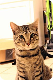 Domestic Shorthair Cat for adoption in Indian Harbour Beach, Florida - Zues