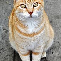 Adopt A Pet :: Marmalade - Castro Valley, CA