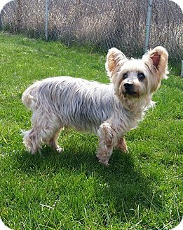 Maltese/Yorkie, Yorkshire Terrier Mix Dog for adoption in Port Clinton, Ohio - KRAMER