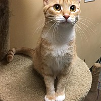 Adopt A Pet :: Cheese Nip - Capshaw, AL