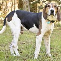 Adopt A Pet :: Leon - Cashiers, NC