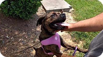 Boston Terrier Mix Dog for adoption in Charlotte, North Carolina - Lucy