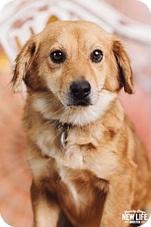 Corgi/Sheltie, Shetland Sheepdog Mix Dog for adoption in Portland, Oregon - Katrina
