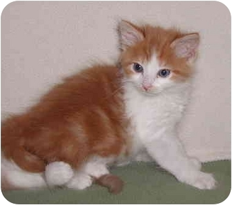 Domestic Shorthair Kitten for adoption in San Diego/North County, California - Thomas