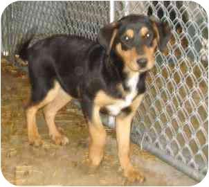 Rottweiler Mix Puppy for adoption in Naperville, Illinois - Josh-Pending Adoption