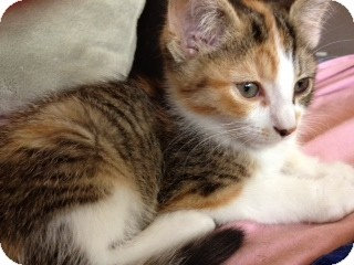 Calico Kitten for adoption in Byron Center, Michigan - Aubrey