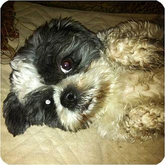 Shih Tzu Dog for adoption in Mays Landing, New Jersey - Zane-VA