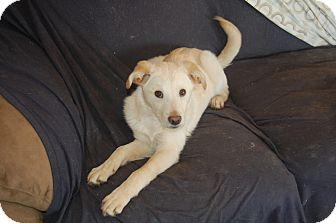 Labrador Retriever/Husky Mix Puppy for adoption in Hainesville, Illinois - Sweetie