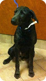 Labradoodle/Irish Wolfhound Mix Puppy for adoption in Oswego, Illinois - Neemo