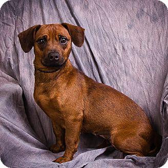 Beagle Mix Dog for adoption in Anna, Illinois - MAHOGANY