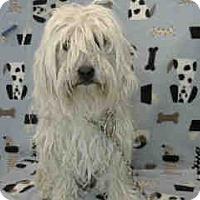 Adopt A Pet :: Simon - Simi Valley, CA