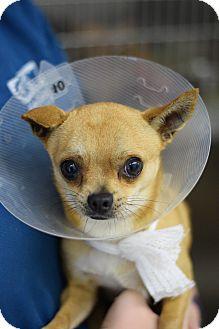 Chihuahua Mix Dog for adoption in Bradenton, Florida - Angus