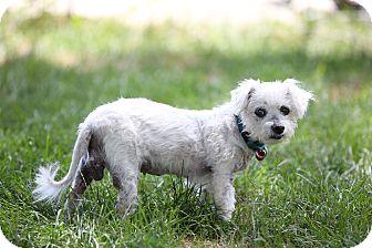 Poodle (Miniature)/Bichon Frise Mix Dog for adoption in Troy, Michigan - Sugar