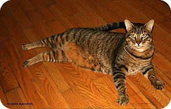 Domestic Shorthair Cat for adoption in THORNHILL, Ontario - Merlin