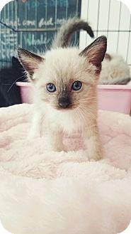 Siamese Kitten for adoption in Cerritos, California - Coco
