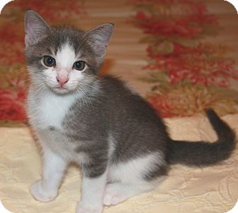 Domestic Shorthair Cat for adoption in Houston, Texas - Patch