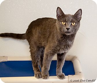 Domestic Shorthair Cat for adoption in Martinsville, Indiana - Hatti