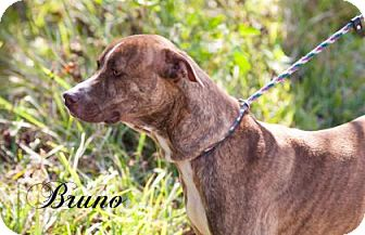 Plott Hound/Mastiff Mix Dog for adoption in Middleburg, Florida - Bruno