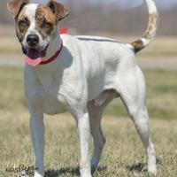 Adopt A Pet :: Dingo - Ottumwa, IA