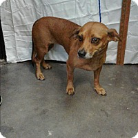 Adopt A Pet :: Cookie 2 - Barnwell, SC
