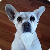 Adopt A Pet :: Cadie - New York, NY